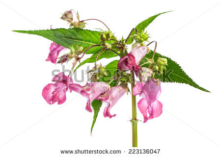 "himalayan Balsam"" Stock Photos, Royalty."