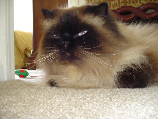 Himalayan Cat.