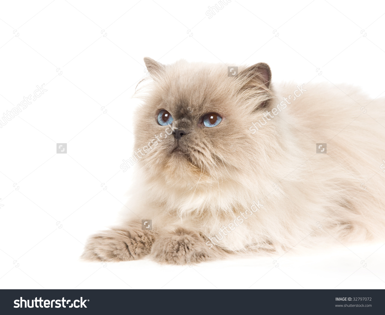 Showing post & media for White himalayan cat cartoon.