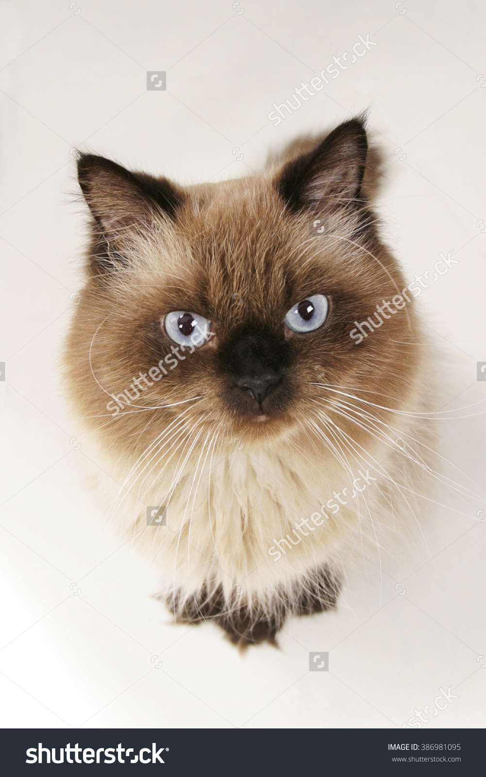 Himalayan Cat Breed Stock Photo 386981095.