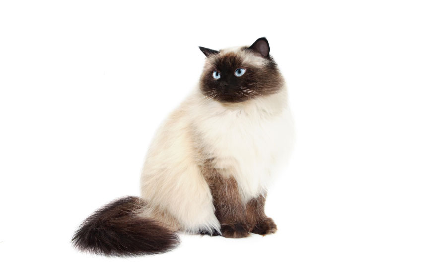 Himalayan Cat History, Personality, Appearance, Health and Pictures.