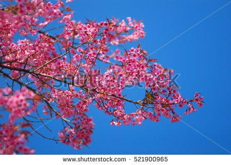 Wild Himalayan Cherry Doi Inthanon National Stock Photo 521846752.