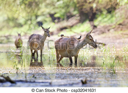 Stock Photos of Pregnant hinds in water.