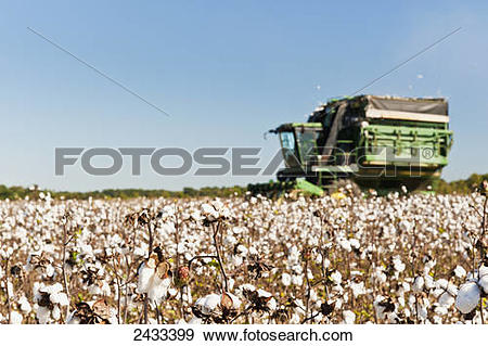 Stock Photograph of Cotton bolls and cotton picker along the Big.