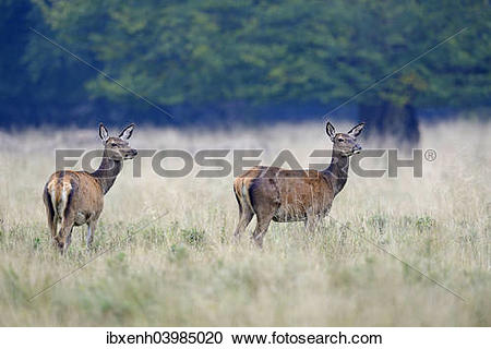 "Stock Photography of ""Red Deer (Cervus elaphus), hinds."