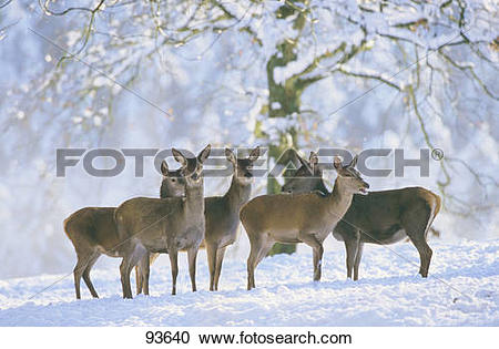 Stock Photography of Red Deer.