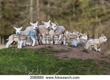 Stock Image of A group of lambs on the top of a hill with coloured.
