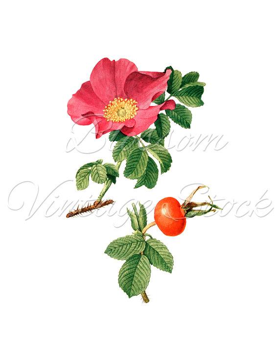Hip Rose Vintage Image Rose Clipart Hiprose by BlossomVintageStock.
