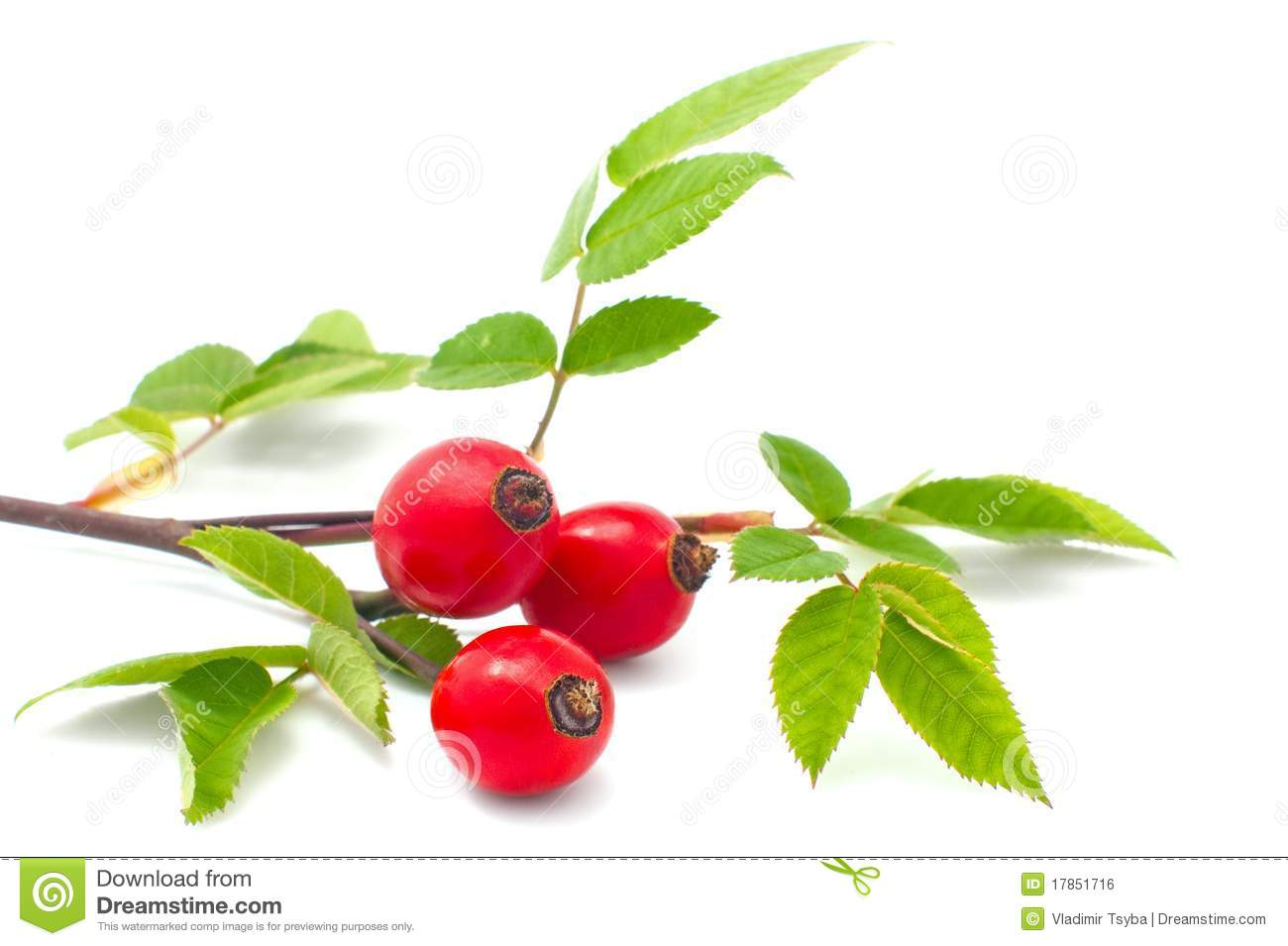 Rose Hip Royalty Free Stock Image.