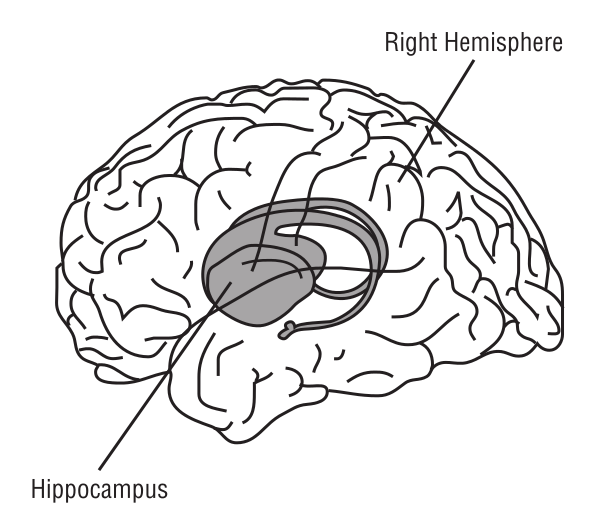 brain hippocampus.