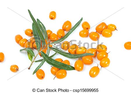 Stock Images of Fruits of sea buckthorn. Latin, Hippophae.