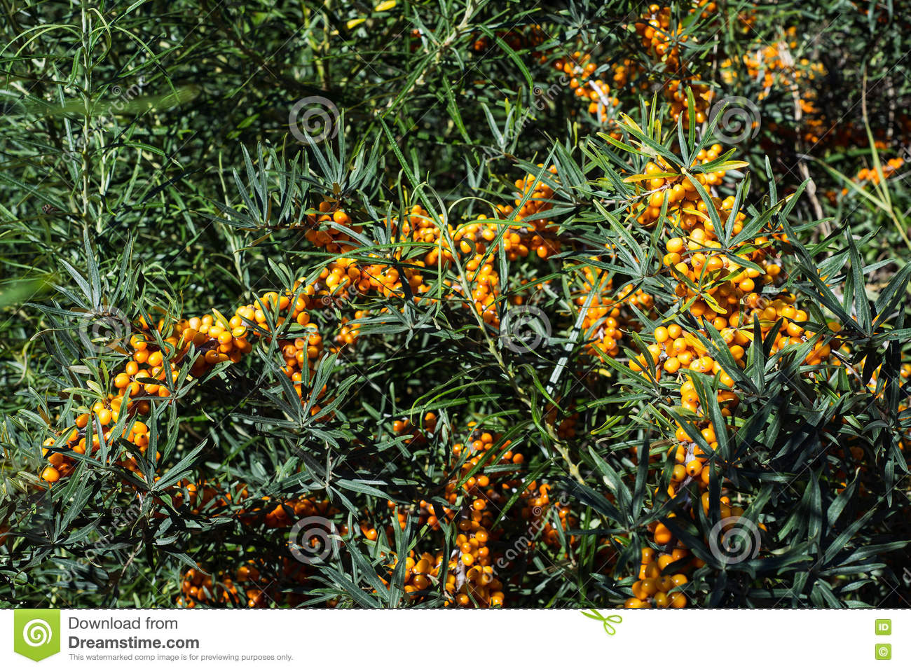 Hippophae Rhamnoides Sea Buckthorn Wild Plant Branch With Ripe.