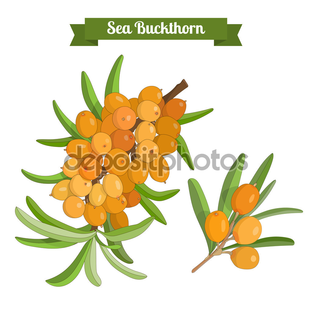 Colorful branch of sea buckthorn berries — Stock Vector © anasta.