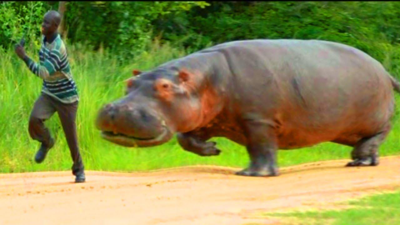 Hippos: Africa's Most Dangerous Animal? Weird Hippopotamus Fun.