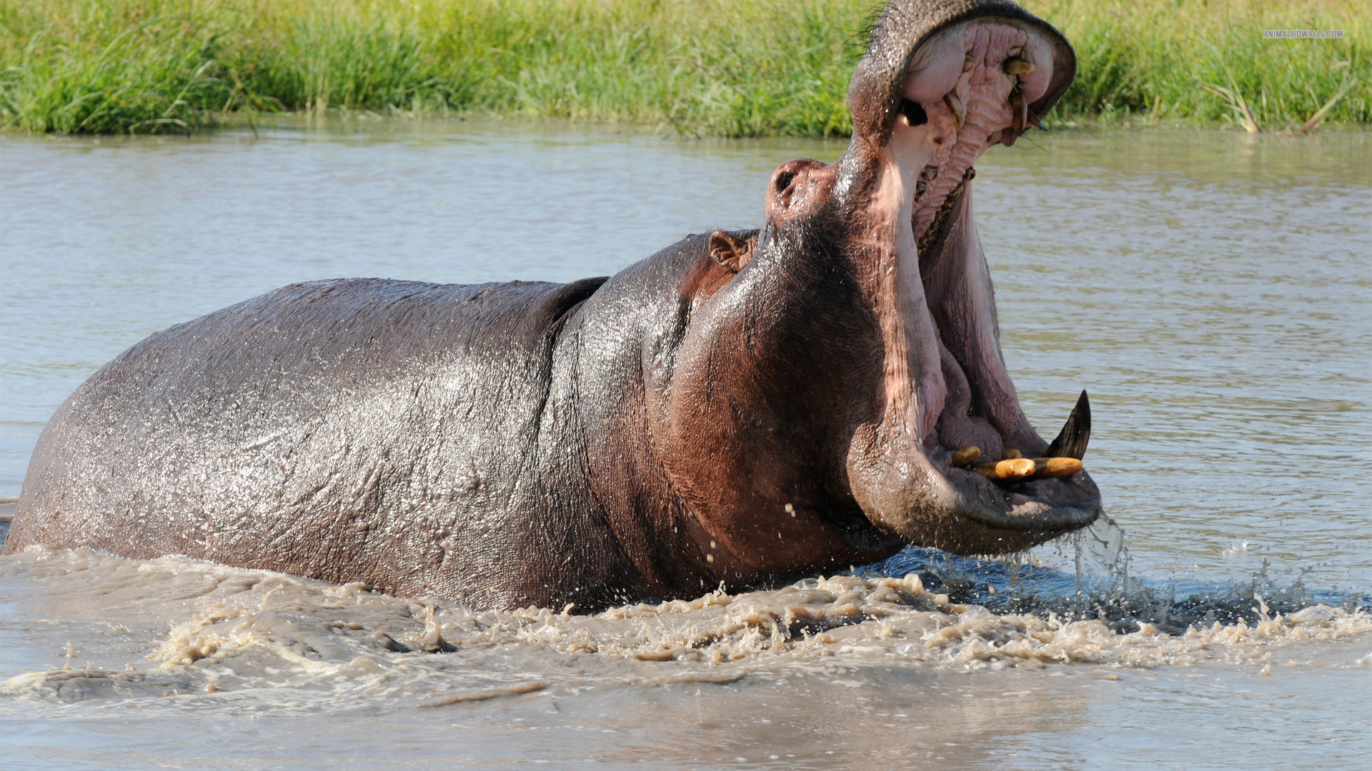Interpretation of a dream in which you saw «Hippopotamus».