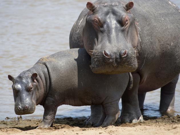 Do hippopotamus have horns?.