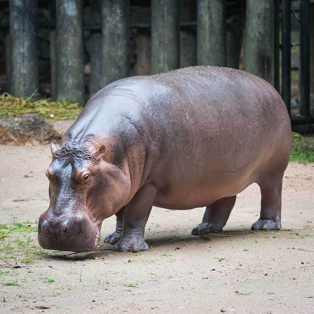 Why is a Hippopotamus called a River Horse?.
