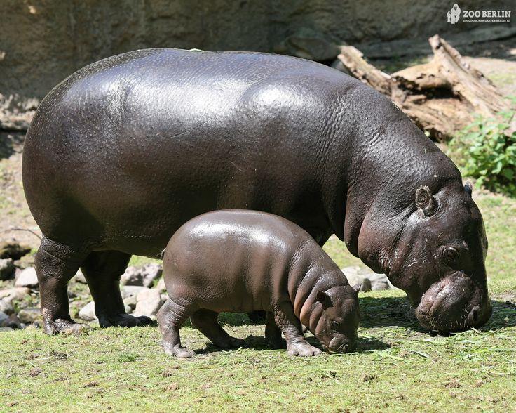 25+ best ideas about Hippopotamus on Pinterest.