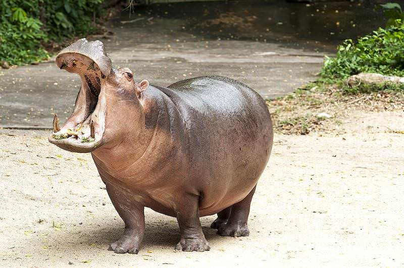 Trophy Hunting the Hippopotamus in South Africa.