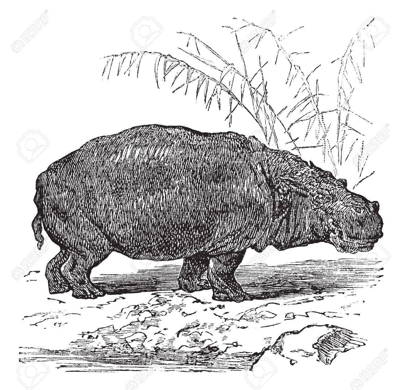 Hippopotamus Or Hippopotamus Amphibius Or Hippo Or Hippopotami.