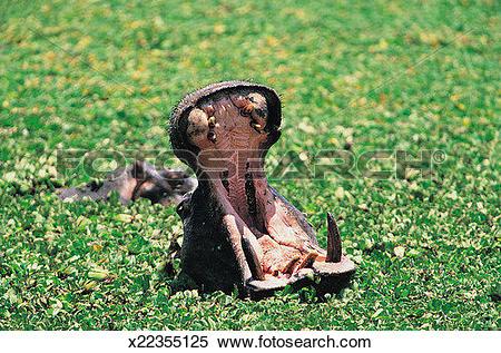 Stock Image of Hippopotamus with Open Mouth (Hippopotamus.
