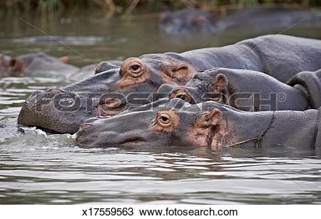 Stock Photo of Hippo, Hippopotamus amphibius x17559563.