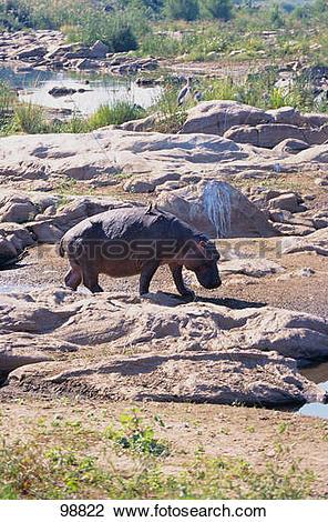 Stock Photo of Hippopotamus.