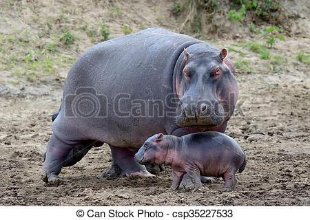 Stock Photos of Hippo (Hippopotamus amphibius).