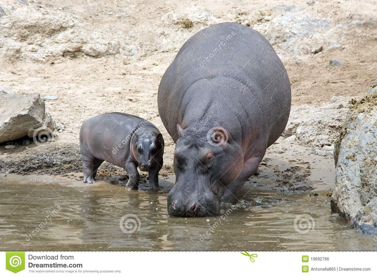 Hippopotamus With Calf (Hippopotamus Amphibius) Royalty Free Stock.