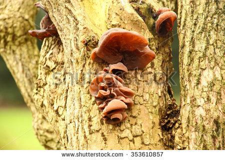 """jelly Ear Fungus"""" Stock Photos, Royalty."""