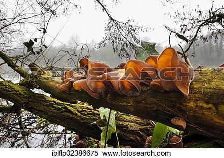 "Stock Image of ""Jew's Ear Fungus (Auricularia auricula."