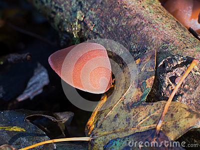 Auricularia Auricula.