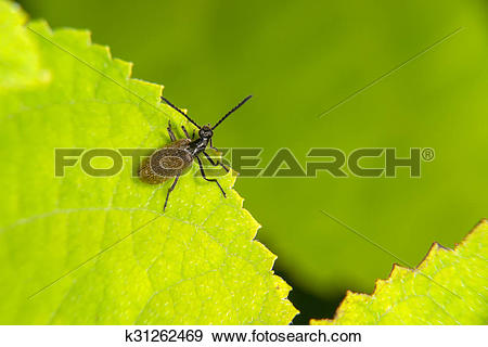 Stock Photograph of (Lagria hirta) at the edge of the green leaf.