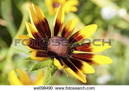 Stock Photography of A single Rubeckia Hirta blossom we098490.