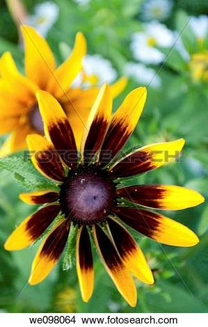 Stock Photo of Some Rudbeckia Hirta blossoms with German Chamomile.