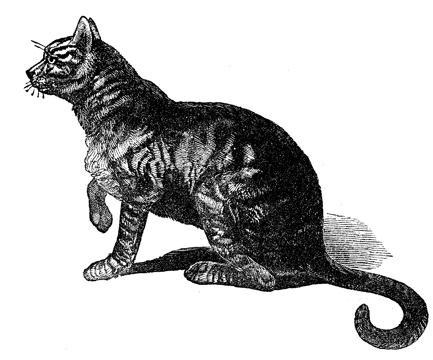 Antique cat illustration from an old Natural History book.