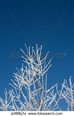 Picture of Hoar frost on branches is099kj1x.