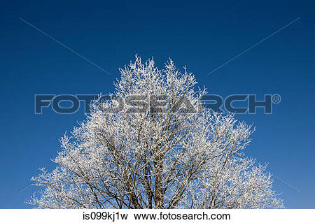Picture of Tree covered in hoar frost is099kj1w.