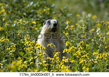 Stock Photo of Hoary Marmot stands upright in a field of yellow.