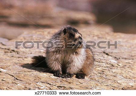 Stock Photo of Hoary Marmot x27710333.