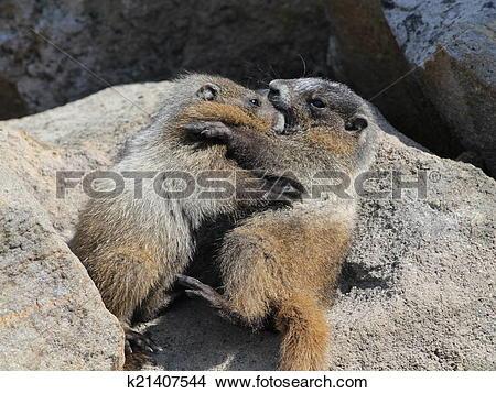 Stock Photo of Juvenile Hoary Marmots Wrestling k21407544.