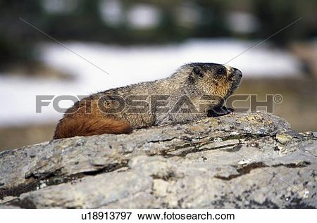 Picture of Hoary marmot on rock u18913797.