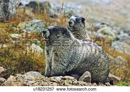 Picture of baby mother hoary marmot thier burrow in alpine.