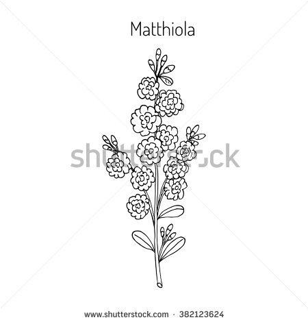 Matthiola Stock Vectors & Vector Clip Art.