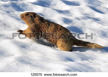 Stock Image of hoary marmot in snow/ Marmota caligata 125075.