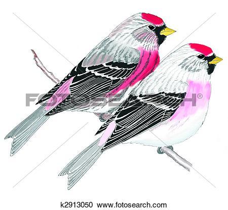 Stock Illustrations of Common & Hoary Redpoll k2913050.