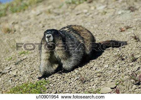 Stock Photo of A hoary Marmot in the alpine. Skyline Trail, Jasper.