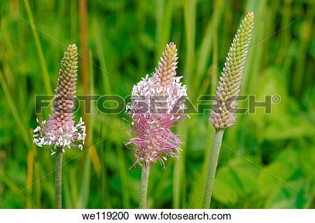 Stock Photography of Hoary plantain Plantago media Lake Baikal.