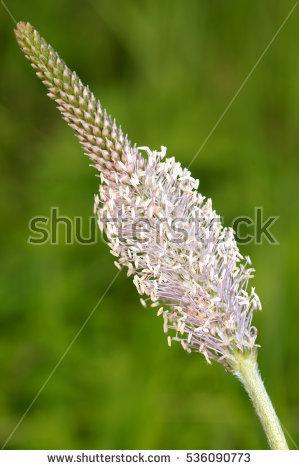 Wild Plantain Banco de imágenes. Fotos y vectores libres de.