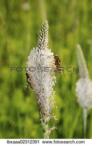 "Stock Photography of ""Hoary plantain (Plantago media), Baikal."